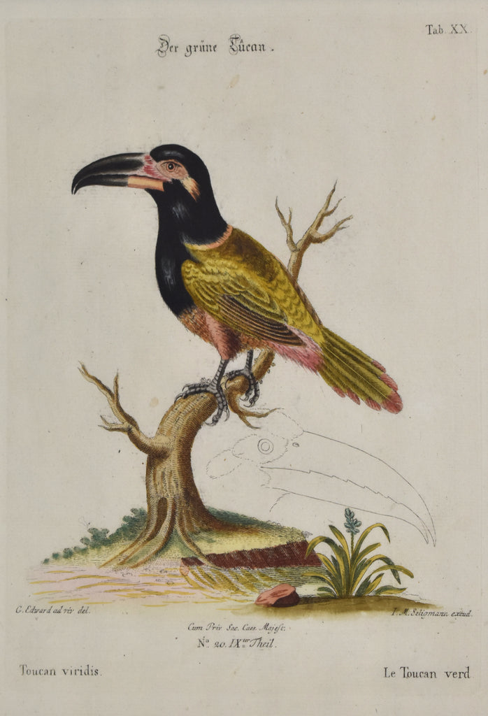 Antique print of a toucan