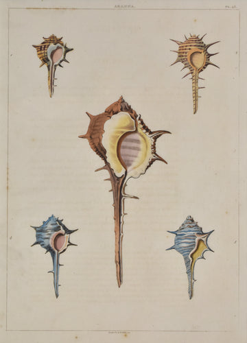 Old print of colorful conch shells