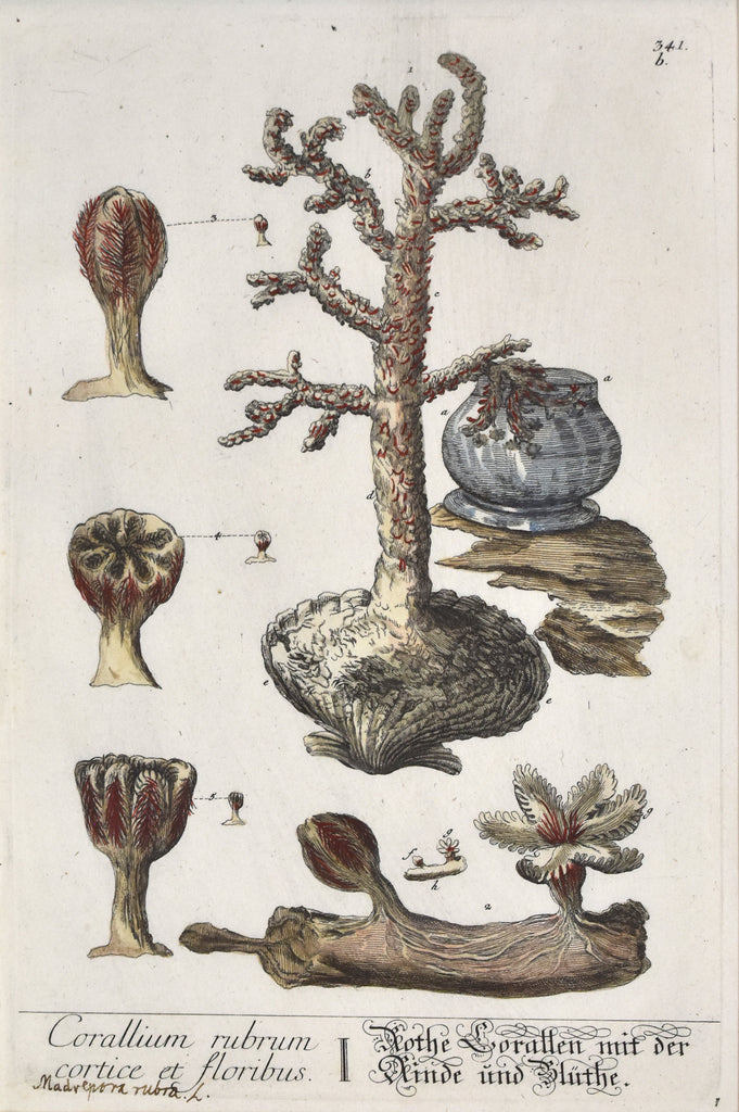 Antique print of red coral