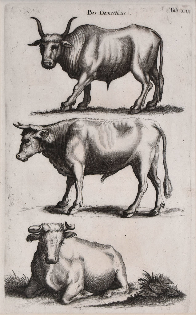 antique print of cattle