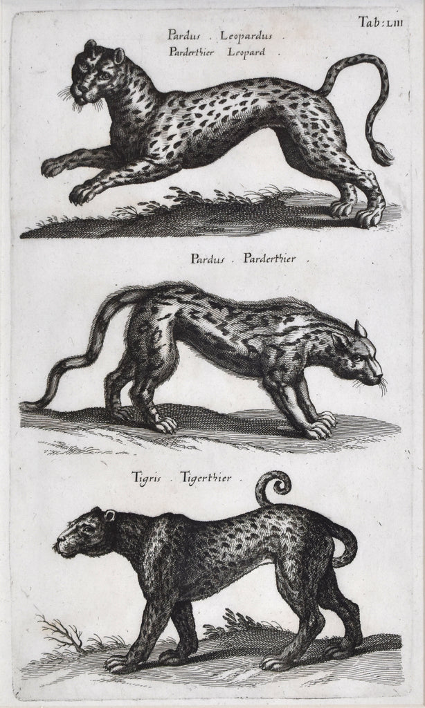 Antique print of a tiger, leopard, and panther