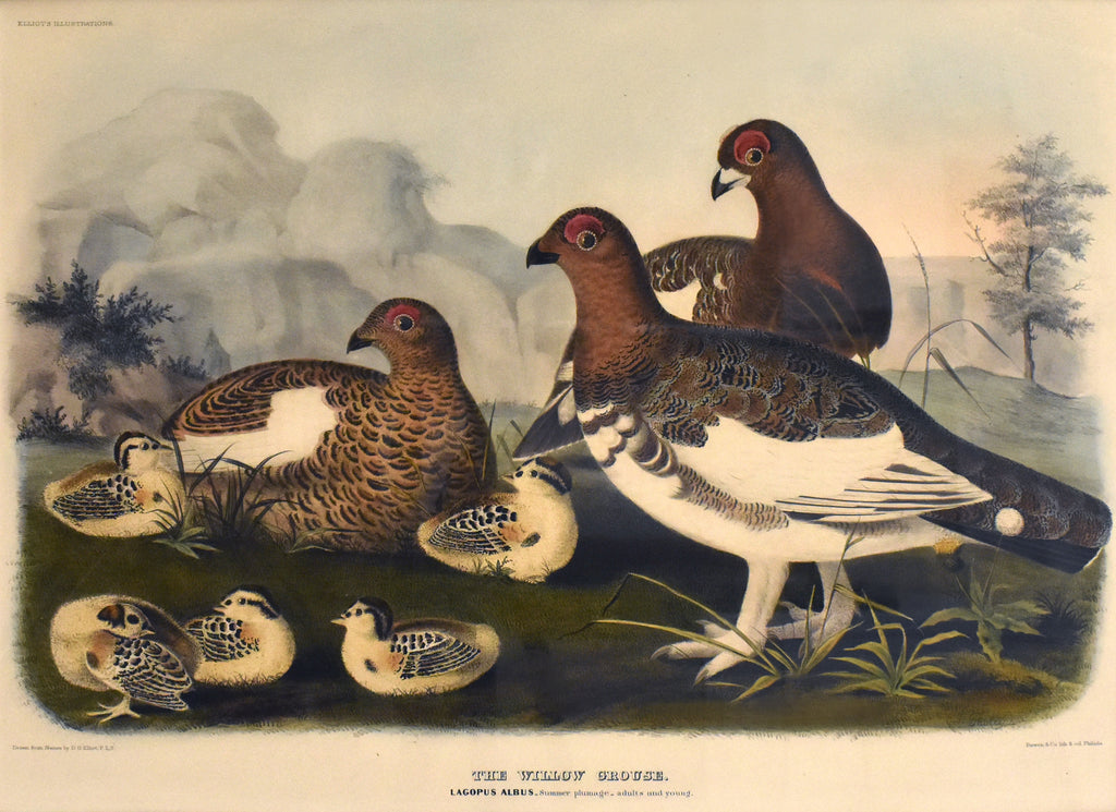 The Willow Grouse (Summer): Elliot 1865