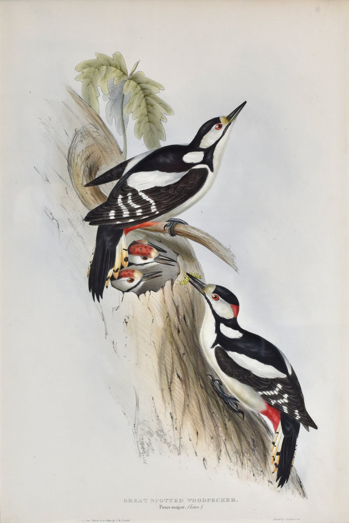Great Spotted Woodpecker: Gould 1832-37