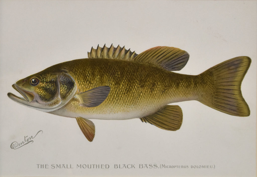 Antique print of a small mouthed bass