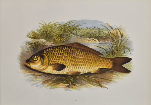 Old print of a carp