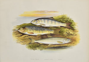 Young Trout, Salmon Parr, Smelt: Houghton 1879