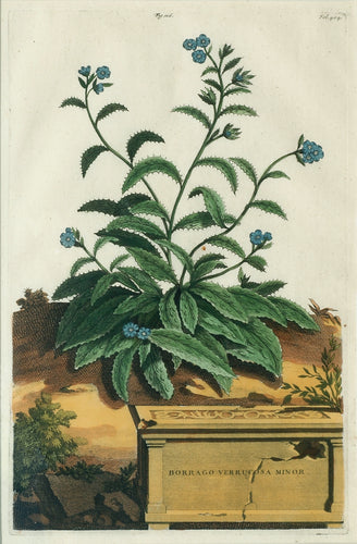 Old botanical print with starflower