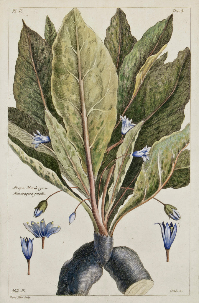 Old print of a mandrake