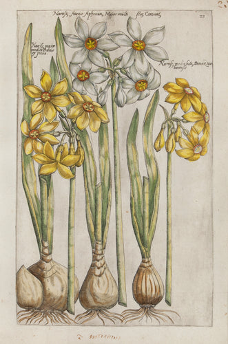 Old print of narcissus