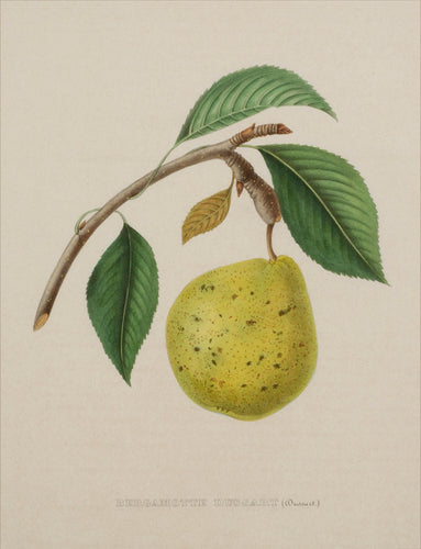 Old print of a pear