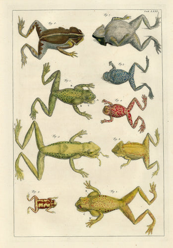Old scientific print of frogs
