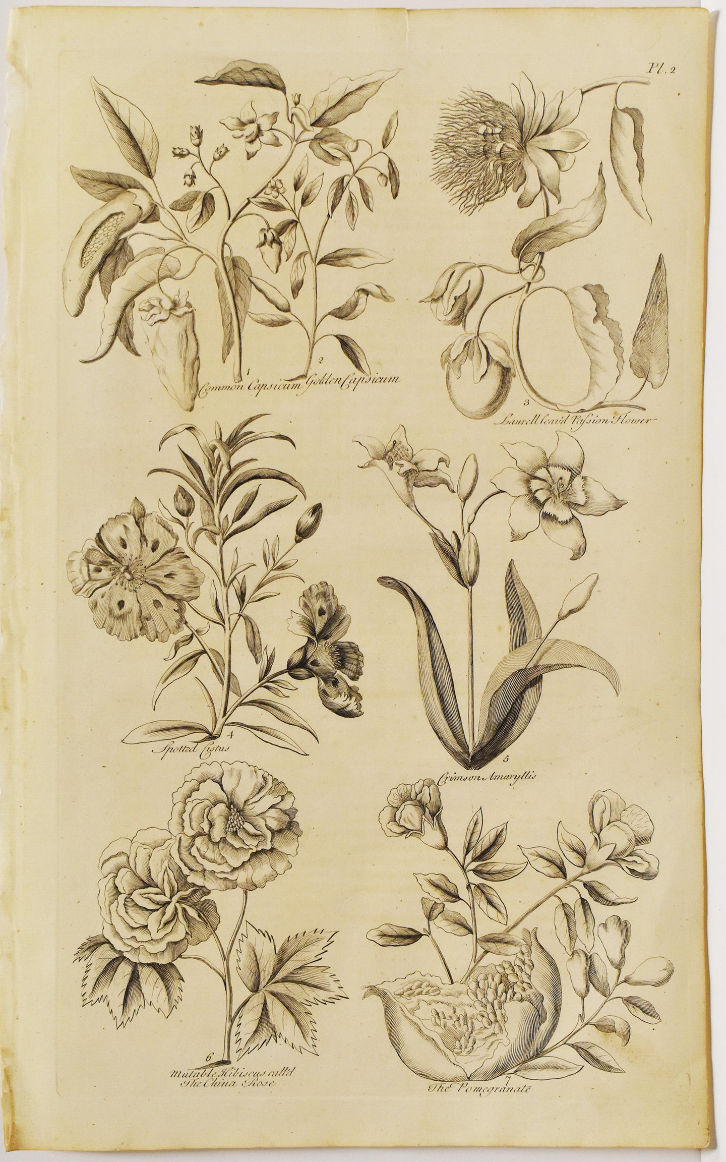 Botanical: John Hill 1757