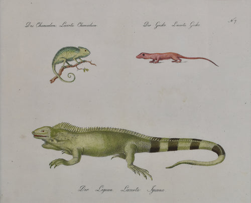 Old print of a gecko, chameleon, and iguana