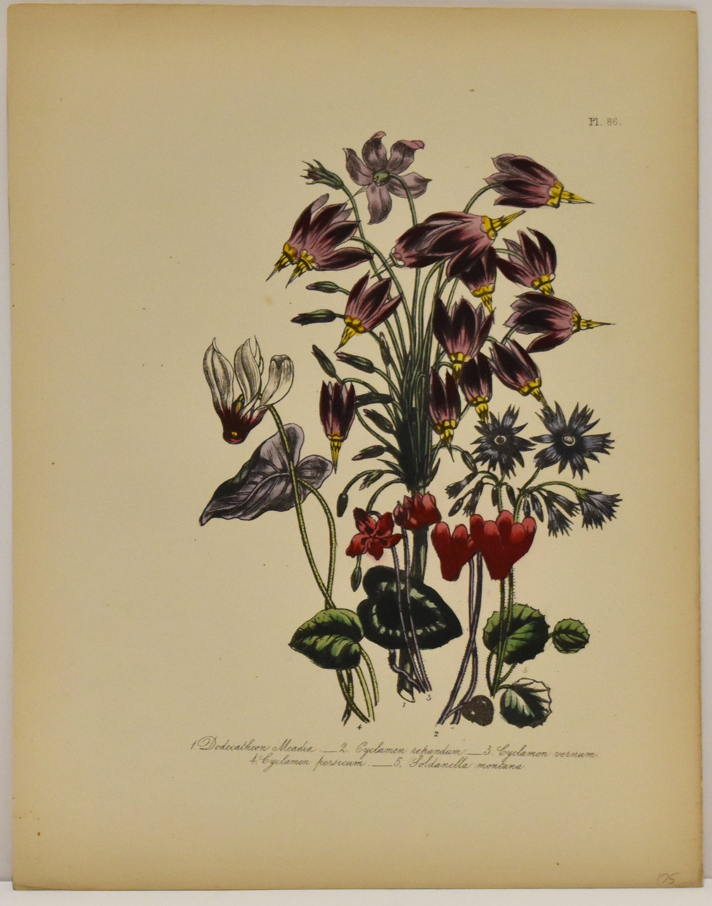 Dodecatheon Meadia: Loudon c. 1839