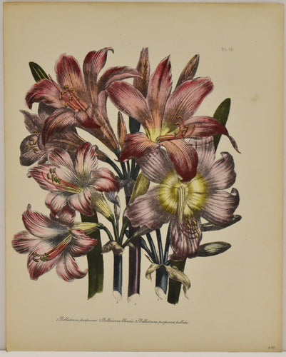 Old print of red flowers