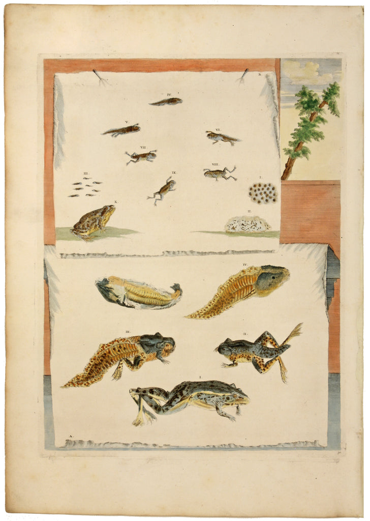Metamorphosis of Frogs: Maria Sibylla Merian 1719