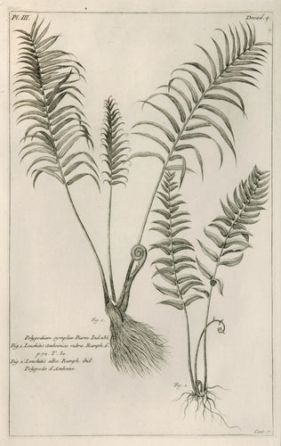 Old print of ferns