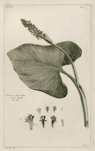 Old print of pickerelweed