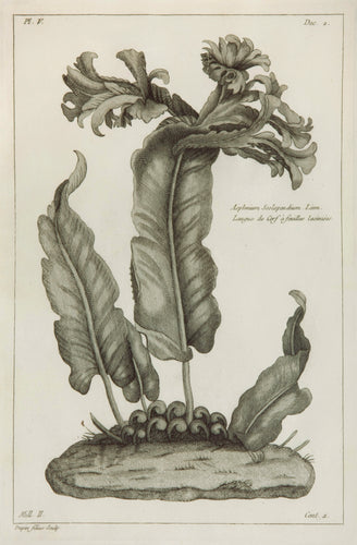Old print of a hart's tongue fern