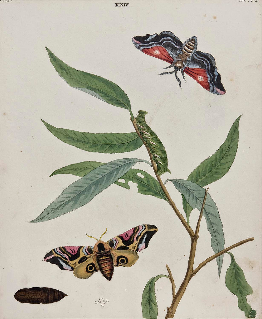 Butterflies And Moths, XXIV: Benjamin WIlkes 1824