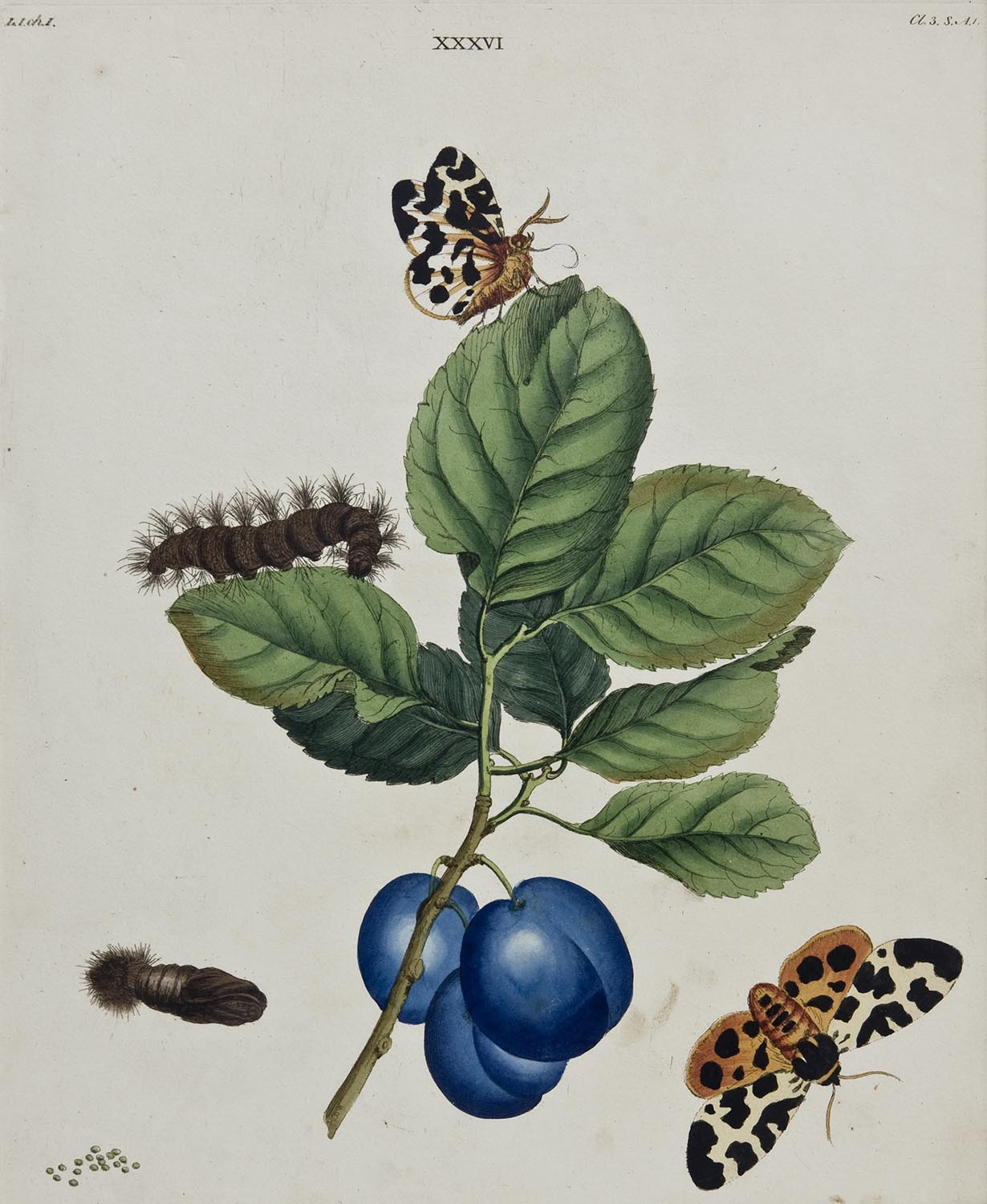 Butterflies And Moths, XXXVI: Benjamin Wilkes 1824