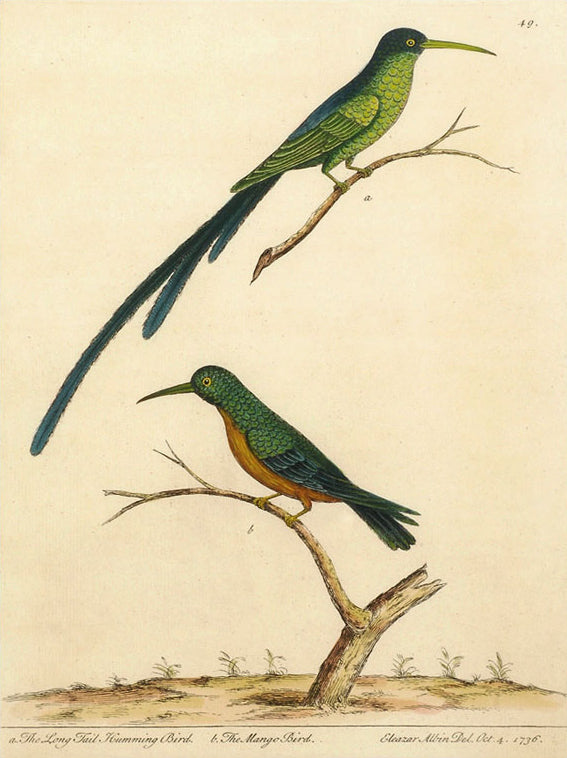The Long Tail Humming Bird and The Mango Bird: Eleazer Albin 1736