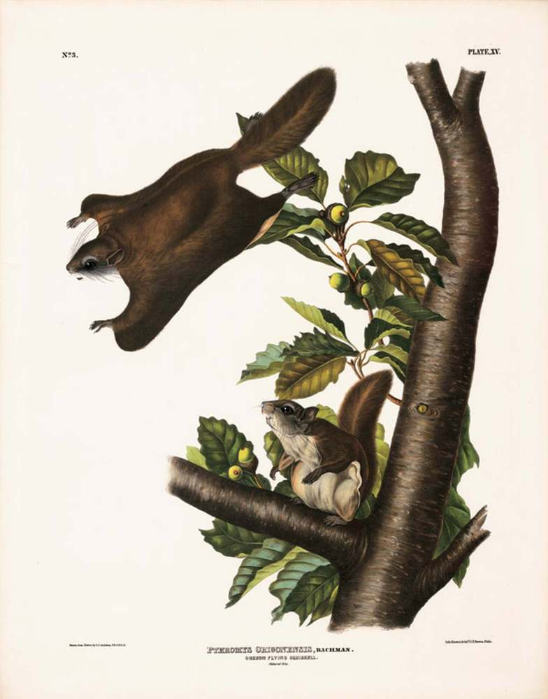 Oregon Flying Squirrel, Plate XV John James Audubon