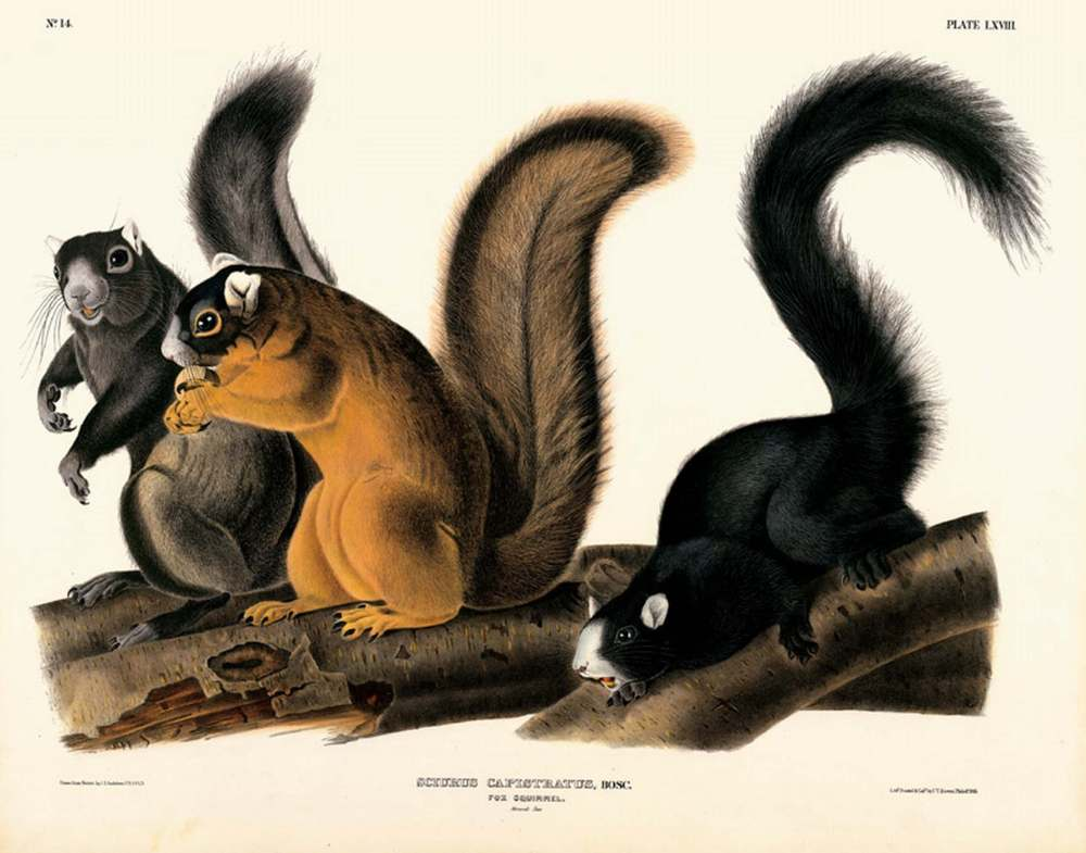 Fox Squirrel, Plate LXVIII John James Audubon