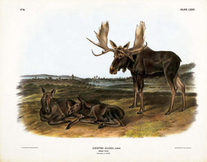 Moose Deer, Plate LXXVI John James Audubon