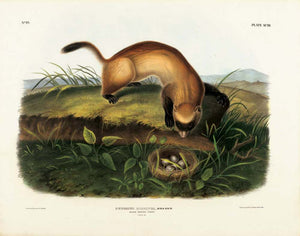 Black-Footed Ferret, Plate XCIII John James Audubon