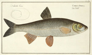CYPRINUS DOBULA (The Common Dace): Marcus Elieser Bloch 1785