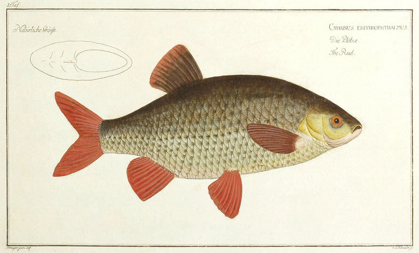 Cyprinus Erithrophthalmus: Bloch 1785