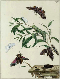 Butterflies and Moths, V: Moses Harris 1840
