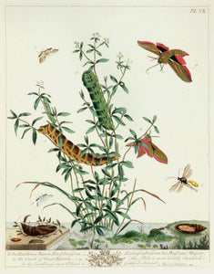 Butterflies and Moths, VII: Moses Harris 1840