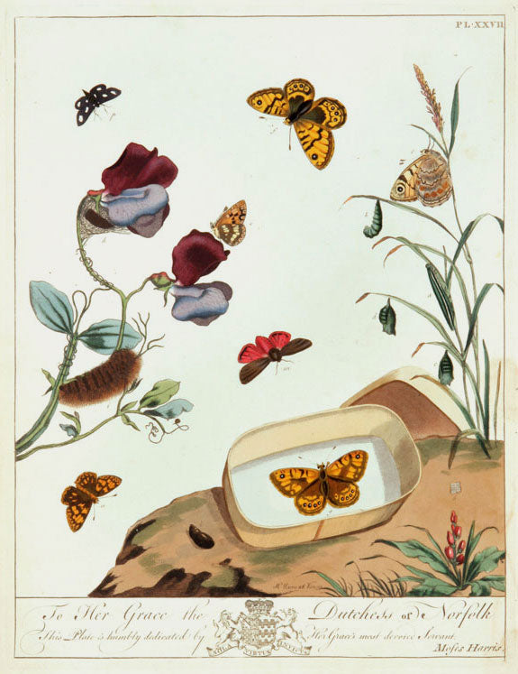 Butterflies and Moths, XXVII: Moses Harris 1840