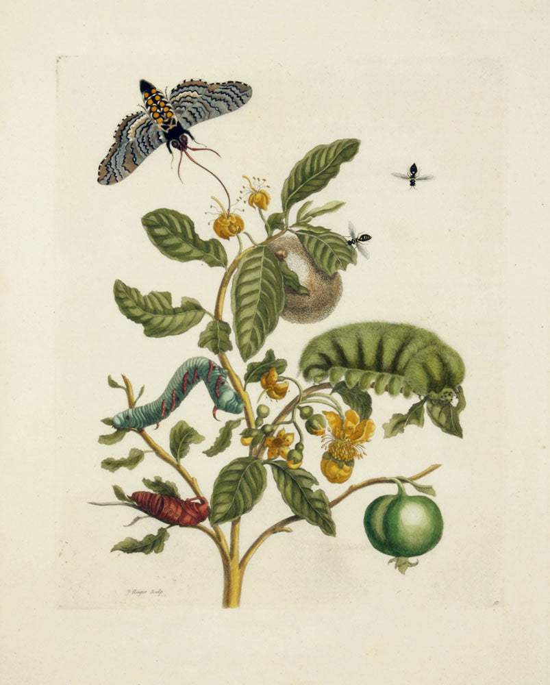 Wooly-Haired Megalopygio Caterpillar: Maria Sibylla Merian 1719