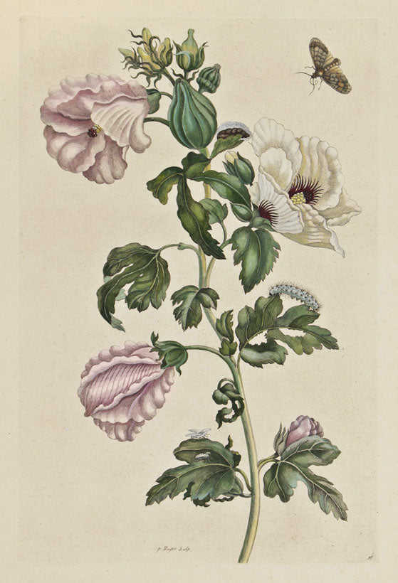 Roselle and Fall Webworm: Maria Sibylla Merian 1730