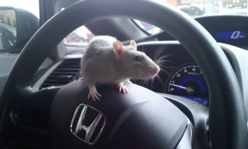 Park your car in a no rat zone