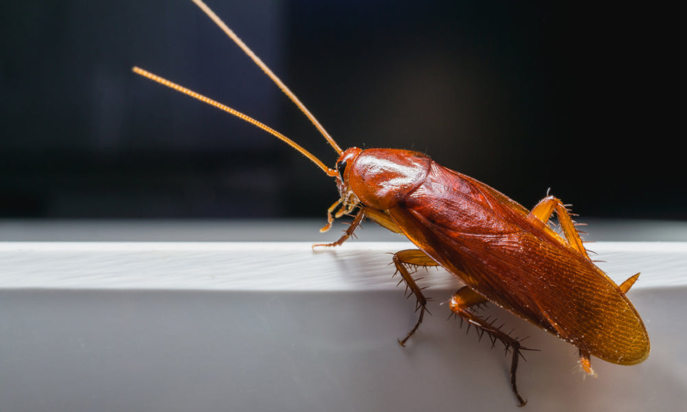 Roaches Live Your Store