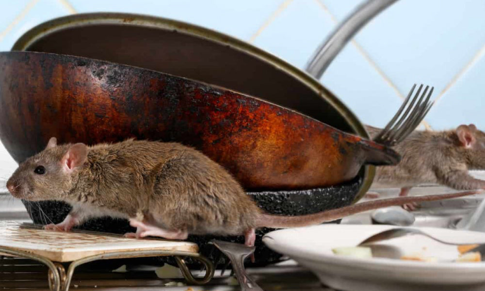 Attracts Rats To Your Kitchen