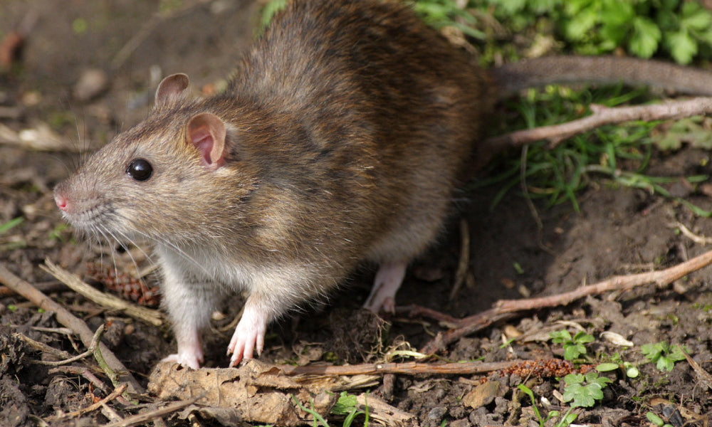Rats are a boon