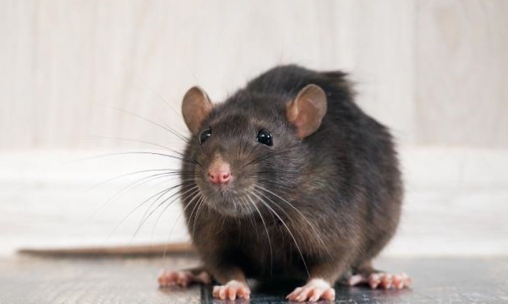 Rats Litter Once In Three Weeks