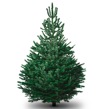 Load image into Gallery viewer, Nordmann Fir Christmas Tree