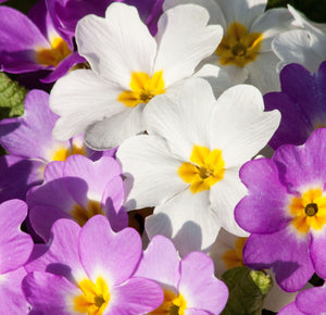 Primula - Primula vulgaris -  Set of 16