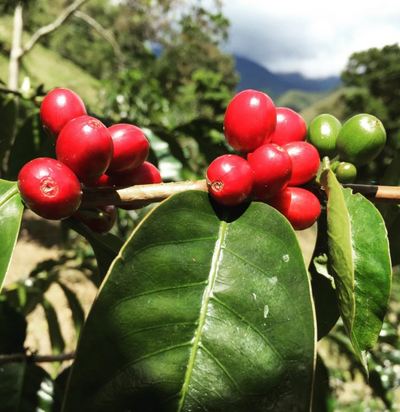 Colombia Monteverde<br> Wush Wush <br>Special Release