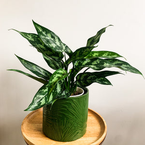 Aglaonema Maria - Chinese Evergreen