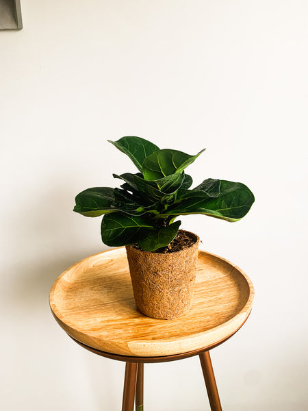 Ficus Lyrata Bambino or Fiddle leaf fig