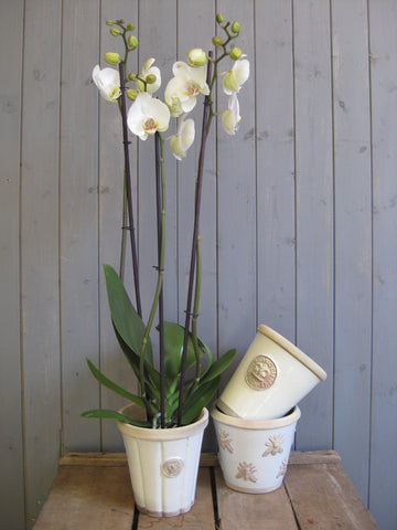 Double stemmed Orchid in Kew planter.