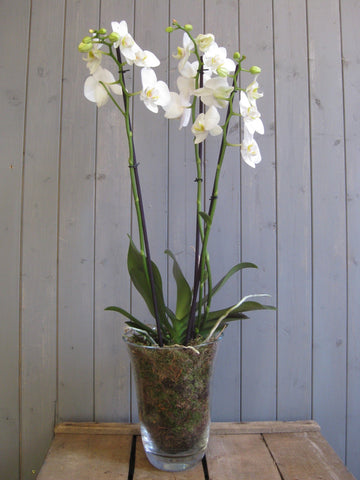 Orchid in a vase.