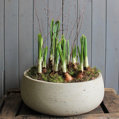 Polished concrete planter of Narcissi